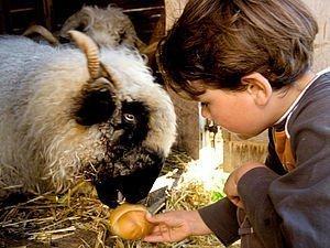 Kind beim Füttern der Schafe