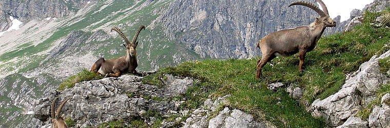 Steinböcke auf dem Berg